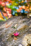 Red Leaf Resting on a Stone Stock Photos