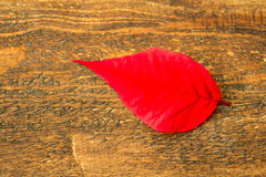 Red leaf of the seasonal plant for Christmas Stock Images