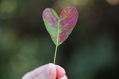 Red leaf of smoketree in the shape of a heart. In the hand Stock Images