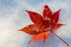 Red leaf at snow Royalty Free Stock Images