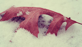 Red Leaf In Snow Royalty Free Stock Image