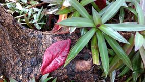 Red leaf with some plants on the tree roots Stock Photos