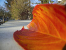 Red leaf on the street Royalty Free Stock Photography