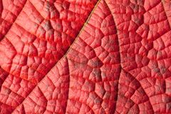 Red leaf structure Stock Images