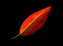 Red leaf studio shot Royalty Free Stock Photos