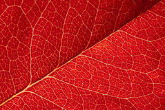 Red leaf texture. Highly detailed image of red leaf texture Stock Images