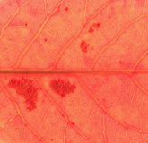 Red leaf  texture Royalty Free Stock Photography