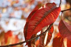 Red leaf on tree Stock Images