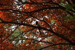 Red leaf and tree in fall. Red leaf and tree with a bird in fall Stock Photography