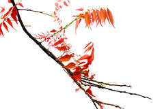 Red leaf tree isolated on white background. The Red leaf tree isolated on white background Royalty Free Stock Photography