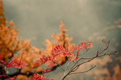 Red leaf. Royalty Free Stock Images