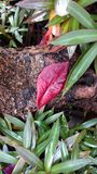A Red leaf on the tree roots. With some plants Stock Photos