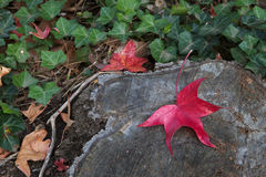 Red leaf tree trunk Royalty Free Stock Images