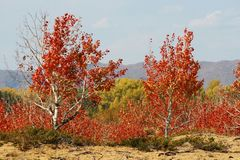 Red-leaf trees on desert Royalty Free Stock Image