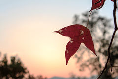 Red leaf under sunset Stock Photo