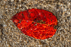 Red leaf under water Royalty Free Stock Image