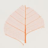 Red leaf veins Royalty Free Stock Photo