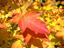 Red  leaf of viburnum in autumn.  Royalty Free Stock Image