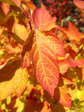 Red leaf of viburnum in autumn. Macro royalty free stock images
