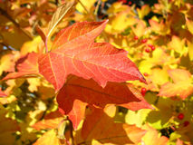 Red  leaf of viburnum in autumn. Macro Stock Image