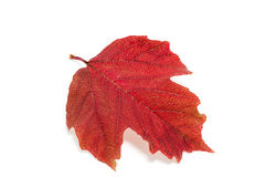 Red leaf viburnum. Isolated on beige background Royalty Free Stock Photos