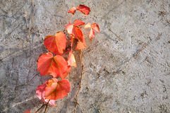 Red leaf of vine plant attached on wall Royalty Free Stock Photos