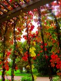 Red autumn leaves curtain, wood battens royalty free stock photo