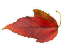 Red leaf of Virginia Creeper Royalty Free Stock Photography