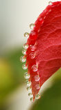 Red leaf and water drop Stock Photo