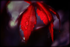 Red leaf. With water droplets and a nice purple and white blurred background Royalty Free Stock Photography