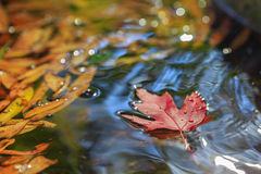 Red leaf on water. Red maple leaf on the fountain water with other leaves Stock Photography