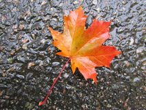 Red leaf on wet asphalt Royalty Free Stock Photography