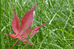 Red leaf and wet grass Royalty Free Stock Photography