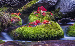 Red leaf on wet moss stone in water Royalty Free Stock Images