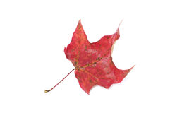 Red Leaf on White Stock Photography