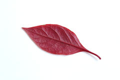 Red leaf Royalty Free Stock Photo