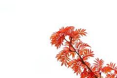 Red leaf. Stock Image