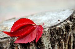 Red leaf of wild grapes on a stump Stock Photo