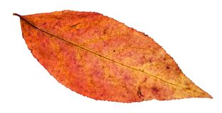 Red leaf of willow tree isolated on white. Background Stock Photo