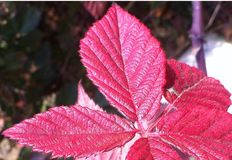 Red leaf. In the winter time green leaf become red Stock Image