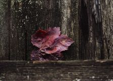 Red leaf wood wall textured background close-up autumn. Wood wall background red leaf close-up autumn nature Royalty Free Stock Images