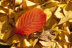 Red leaf yellow leaf Stock Photos