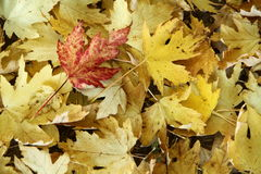 Red leaf on yellow leaf. Cover in the park Royalty Free Stock Image