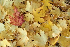 Red leaf on yellow leaf. Covering the ground in the park Stock Image