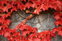 Red leafage on a grey wall. Stock Photo