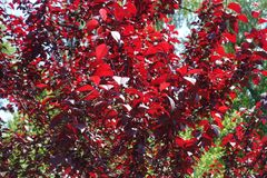 Red leafage of prunus pissardii. In spring Stock Photos