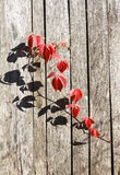 Red leafage of wild grape on wooden fence panels. Red autumn leafage of wild grape on gray wooden fence panels Stock Photo