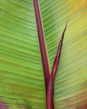 Red leafed banana leaf closeup. Closeup of red leafed banana leaf with new leaf in addition Stock Image