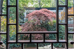 Red-leafed bonsai tree Yuyan garden shanghai china Royalty Free Stock Photo