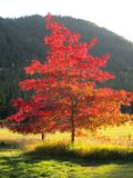 Red leafed Maple tree against Idaho mountain in fall. Red and orange Maple leaves against Idaho mountain and yellowed meadow royalty free stock images